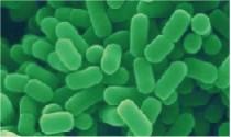 植物乳杆菌